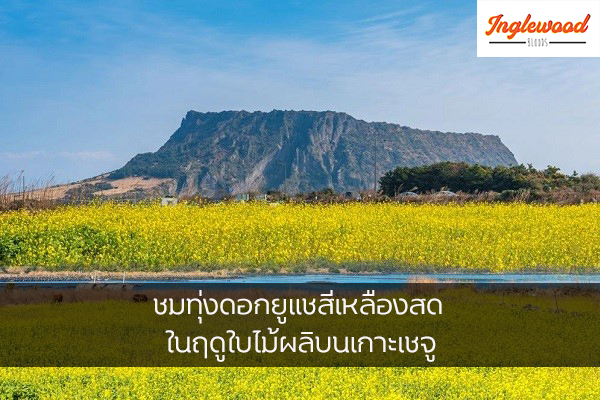 ชมทุ่งดอกยูแชสีเหลืองสด ในฤดูใบไม้ผลิบนเกาะเชจู เที่ยวญี่ปุ่น ท่องเที่ยวต่างประเทศ ทริคการเดินทาง เที่ยวไต้หวัน เที่ยวเกาหลีใต้ เที่ยวเกาะเชจู